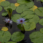 Waterlilies Forever - Puerto Vallarta, Mexico