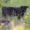 Black Angus in the Buttercups - Carolyn Burns Bass